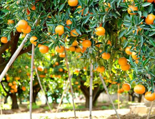 Huele al olor del naranjo en flor…